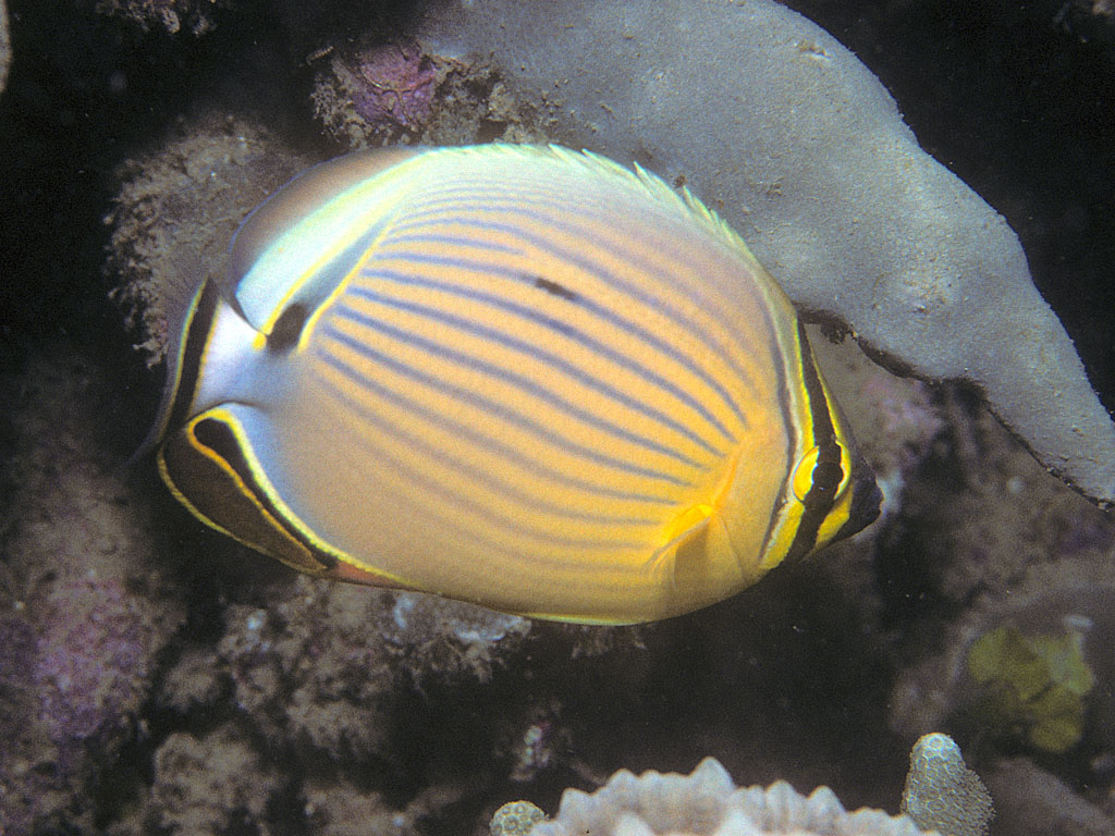 Oval butterflyfish - photo#11