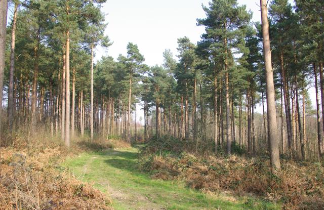 Brede High Wood - geograph.org.uk - 386149