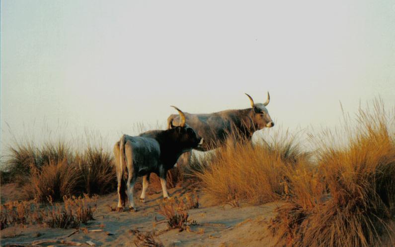 Maremmana (razza bovina) - Wikipedia