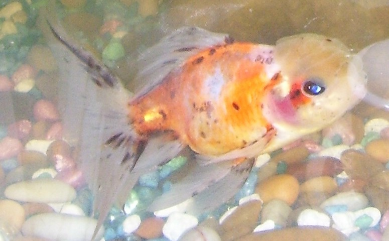 Calico (goldfish) - Wikipedia