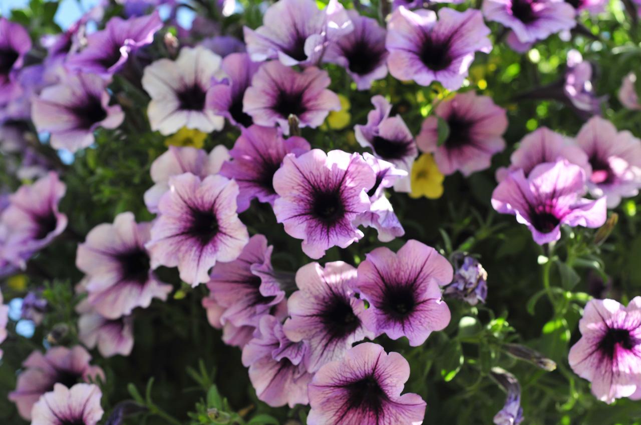 File:Carmel - Hanging Flowers (2621108338).jpg Flowers