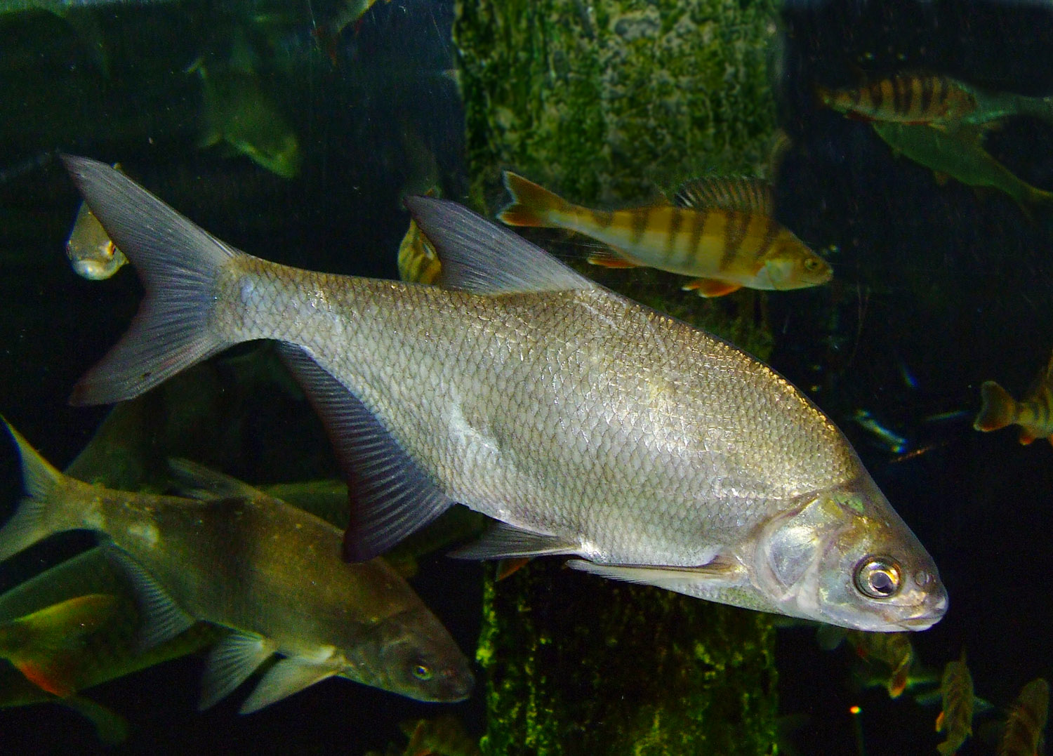 Deverika (Abramis brama) Carp_bream