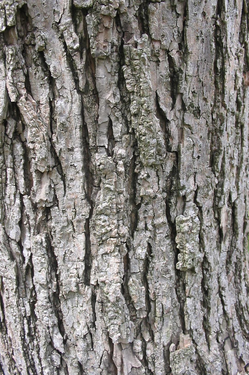 File:Catalpa speciosa textura del tronco.jpg - Wikimedia ...