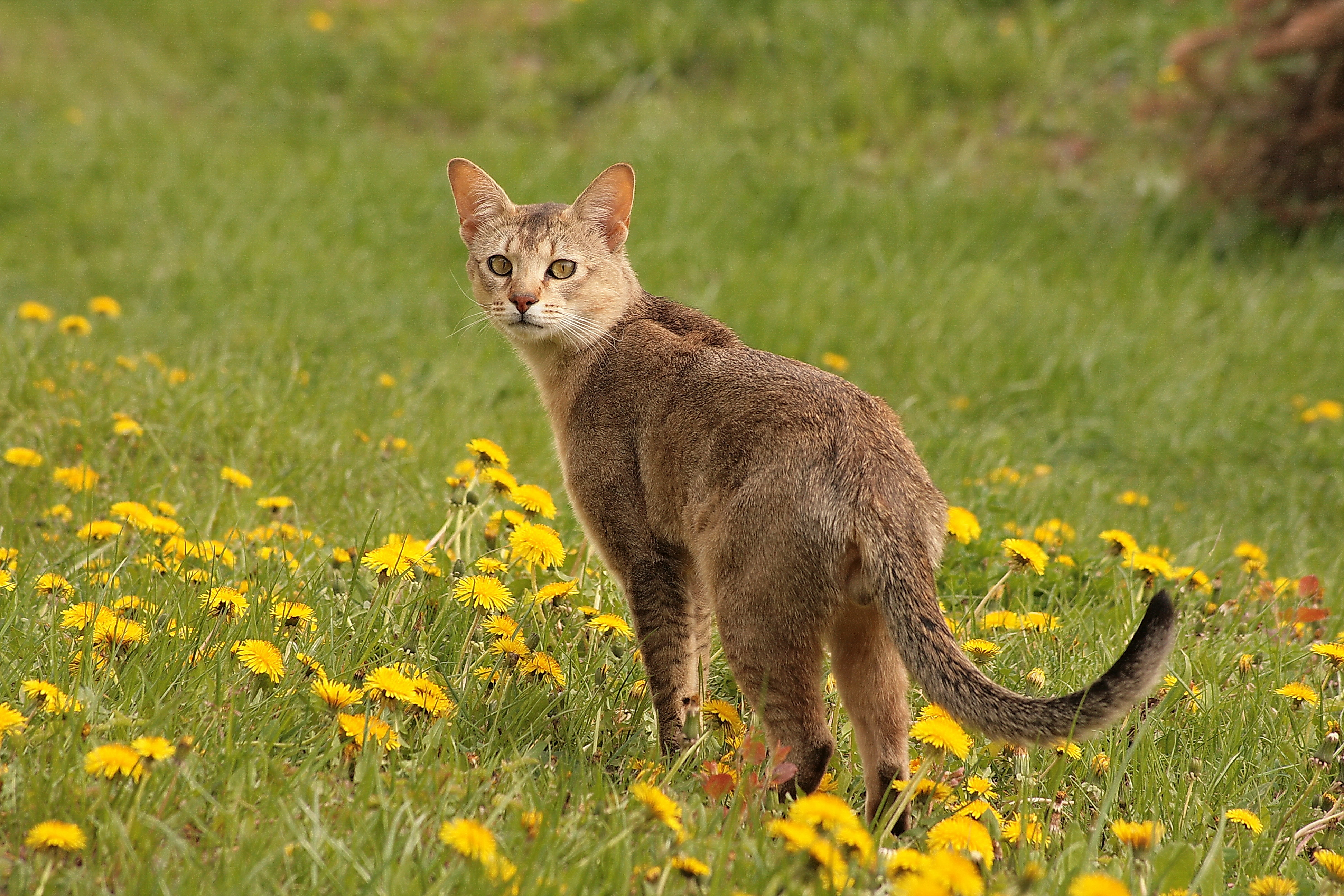 File:Chausie IMG 5419.jpg - Wikimedia Commons