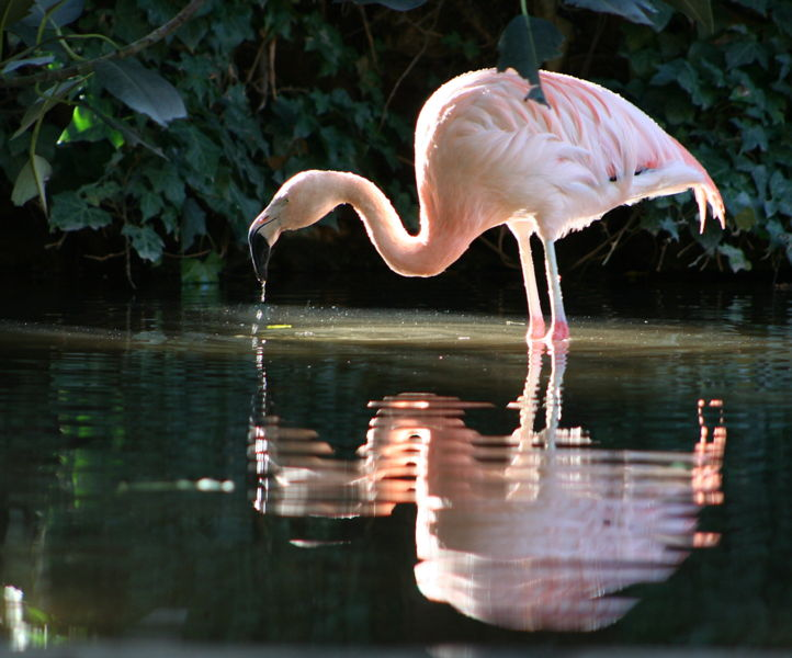 File:Chilean Flamingo-Adelaide Zoo.jpg