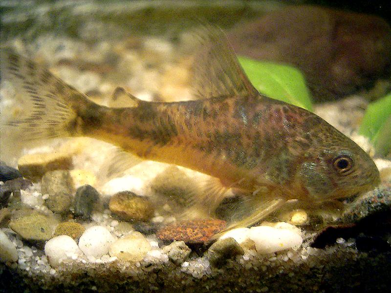 Corydoras paleatus wikipedia for Cory cat fish