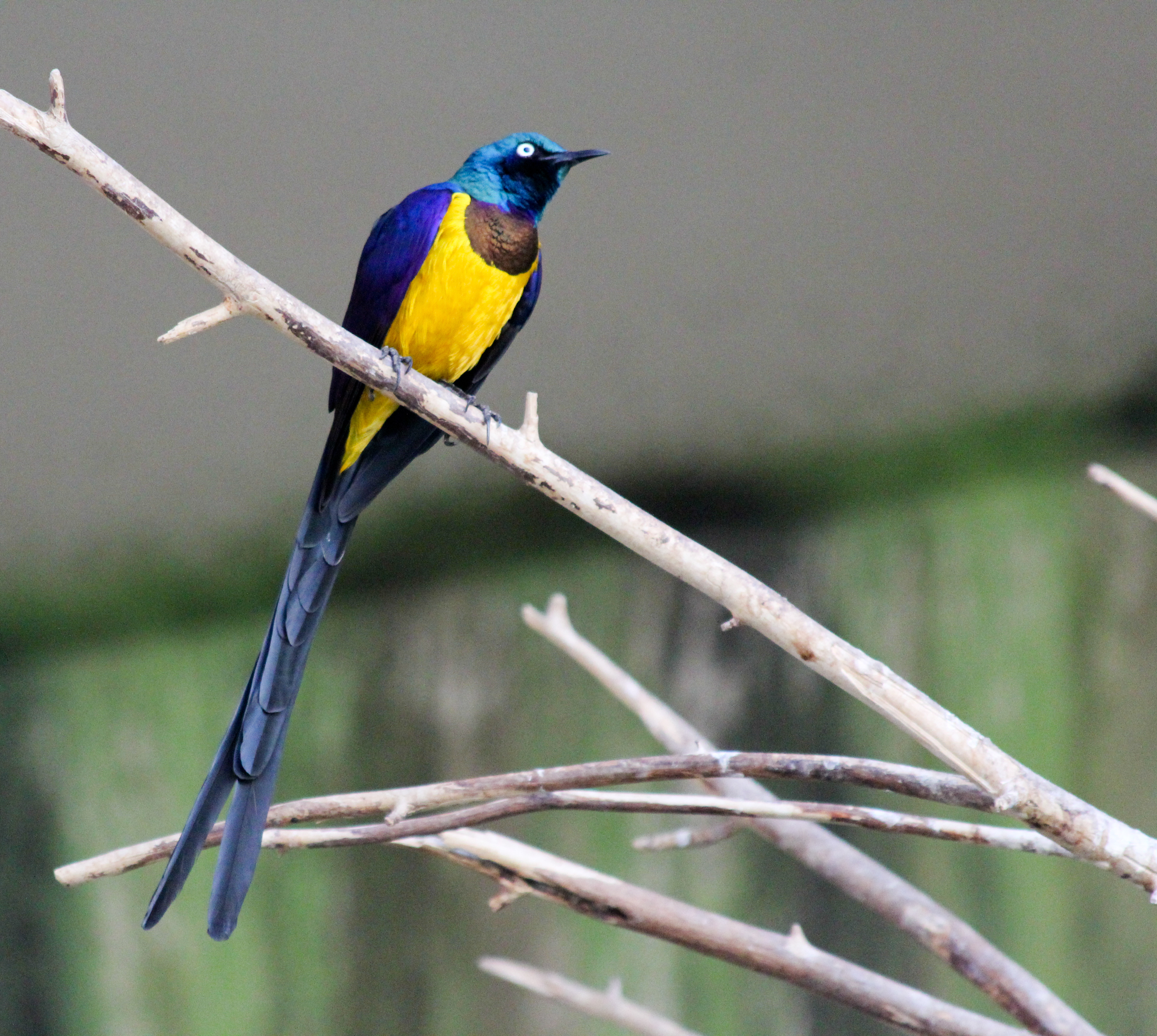 File cosmopsarus regius bird kingdom niagara falls canada 8a