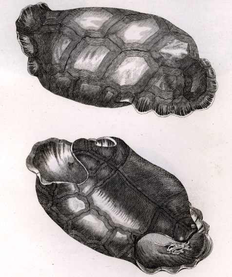 Cylindraspis vosmaeri 1792