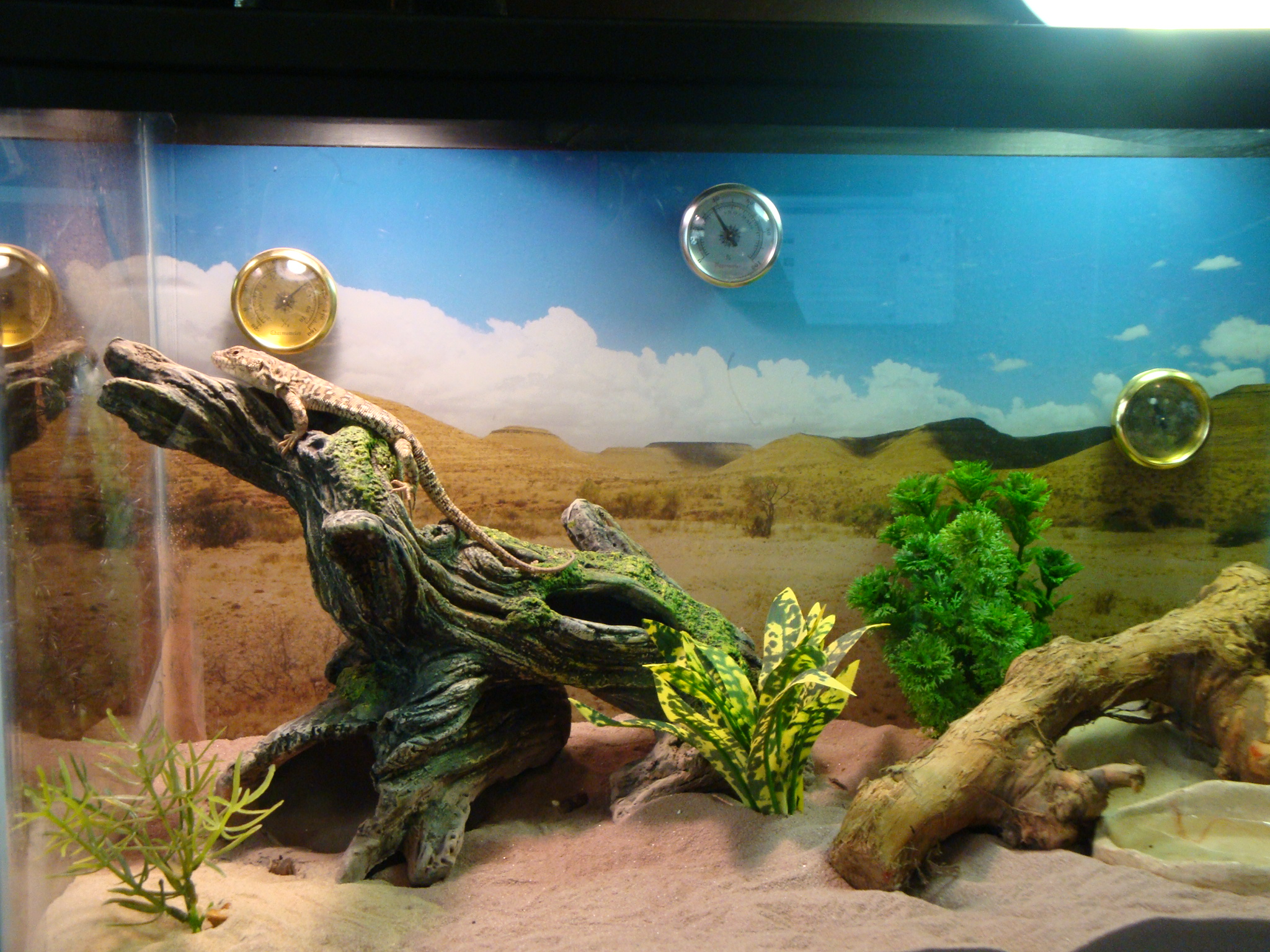 Beginner Reptiles The Steppe Runner Lizard Petiles Blog
