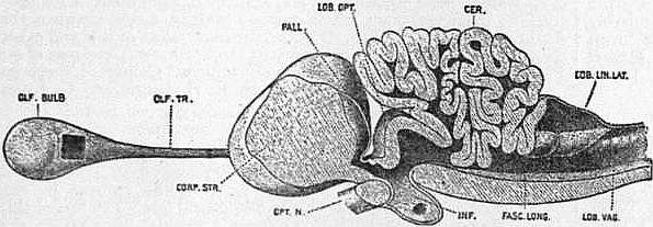 EB1911 Brain Fig. 17-Porbeagle shark.jpg