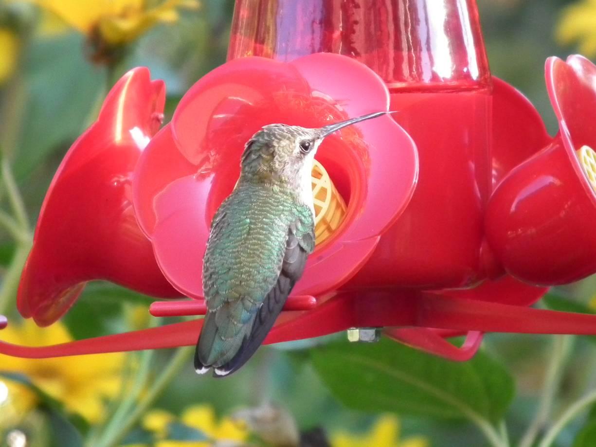 wikimedia commons - Homemade Hummingbird Food