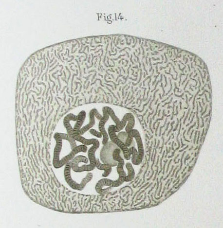 Polytene chromosome - Wikipedia