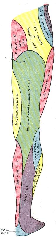 Nervus peroneus communis – Wikipedia