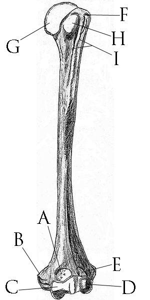 Humerus Labeling Quiz UCL anatomy/Humerus - ...