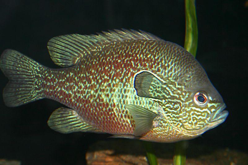 lepomis megalotis (longear sunfish) (20396406).jpg