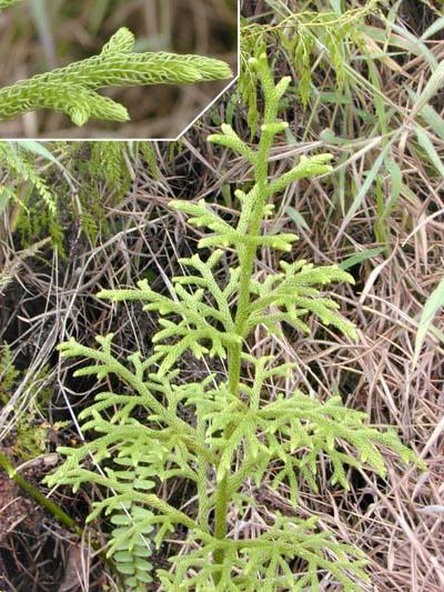 File:Lycopodium plant.jpg