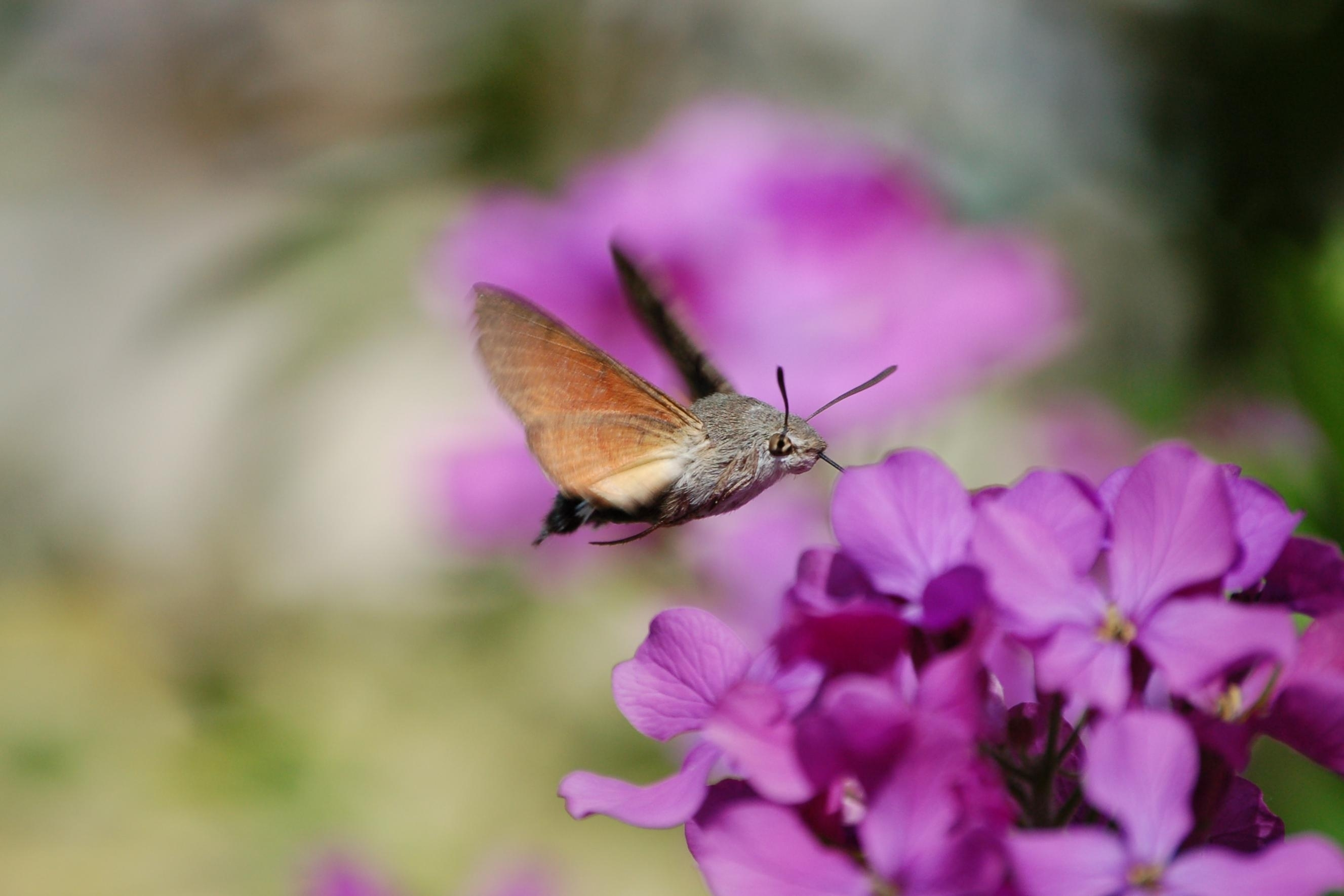 English: A Hummingbird Hawk-moth Français : Un...