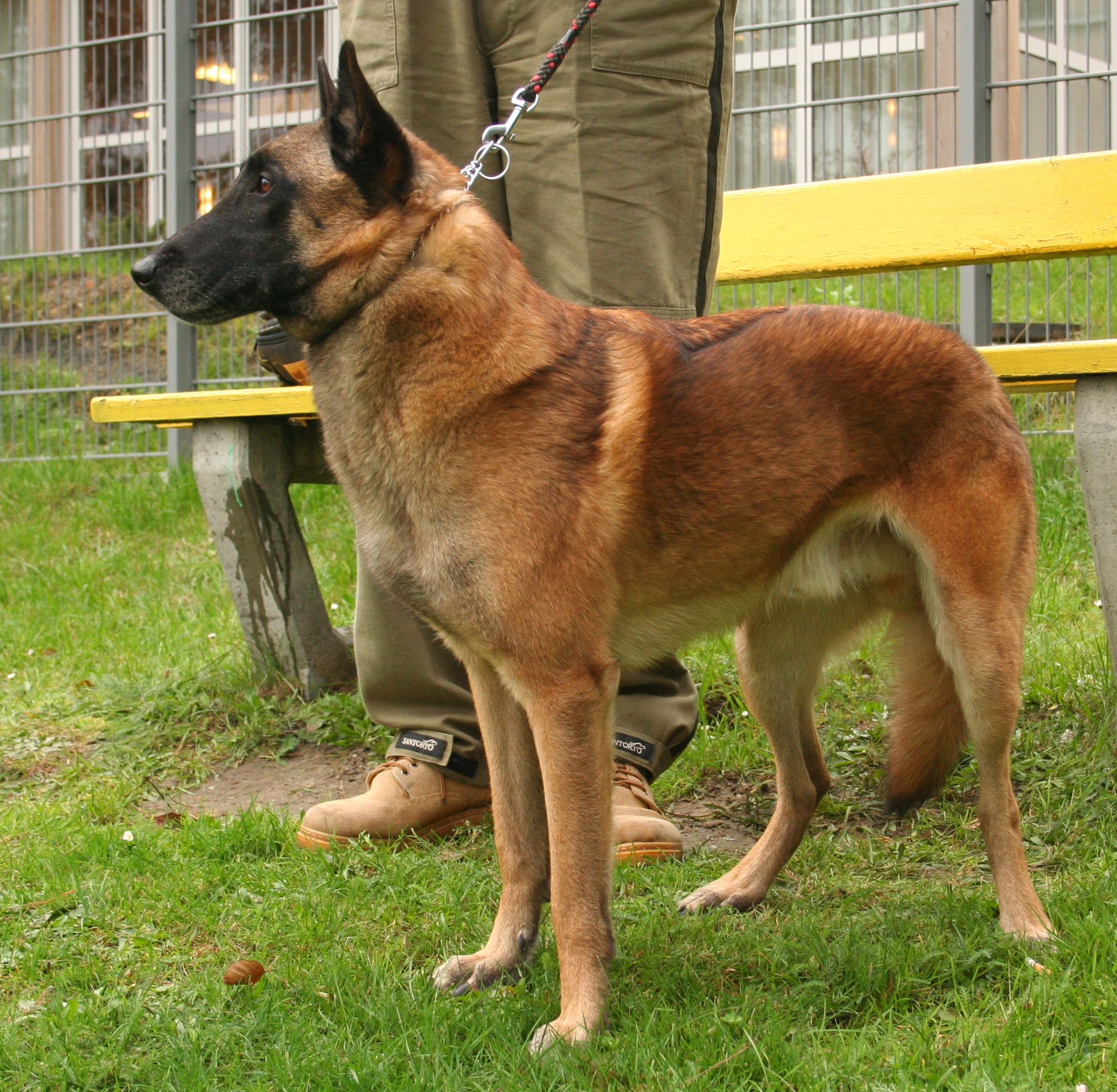 http://upload.wikimedia.org/wikipedia/commons/6/69/Malinois_rybnik-kamien_pl.jpg