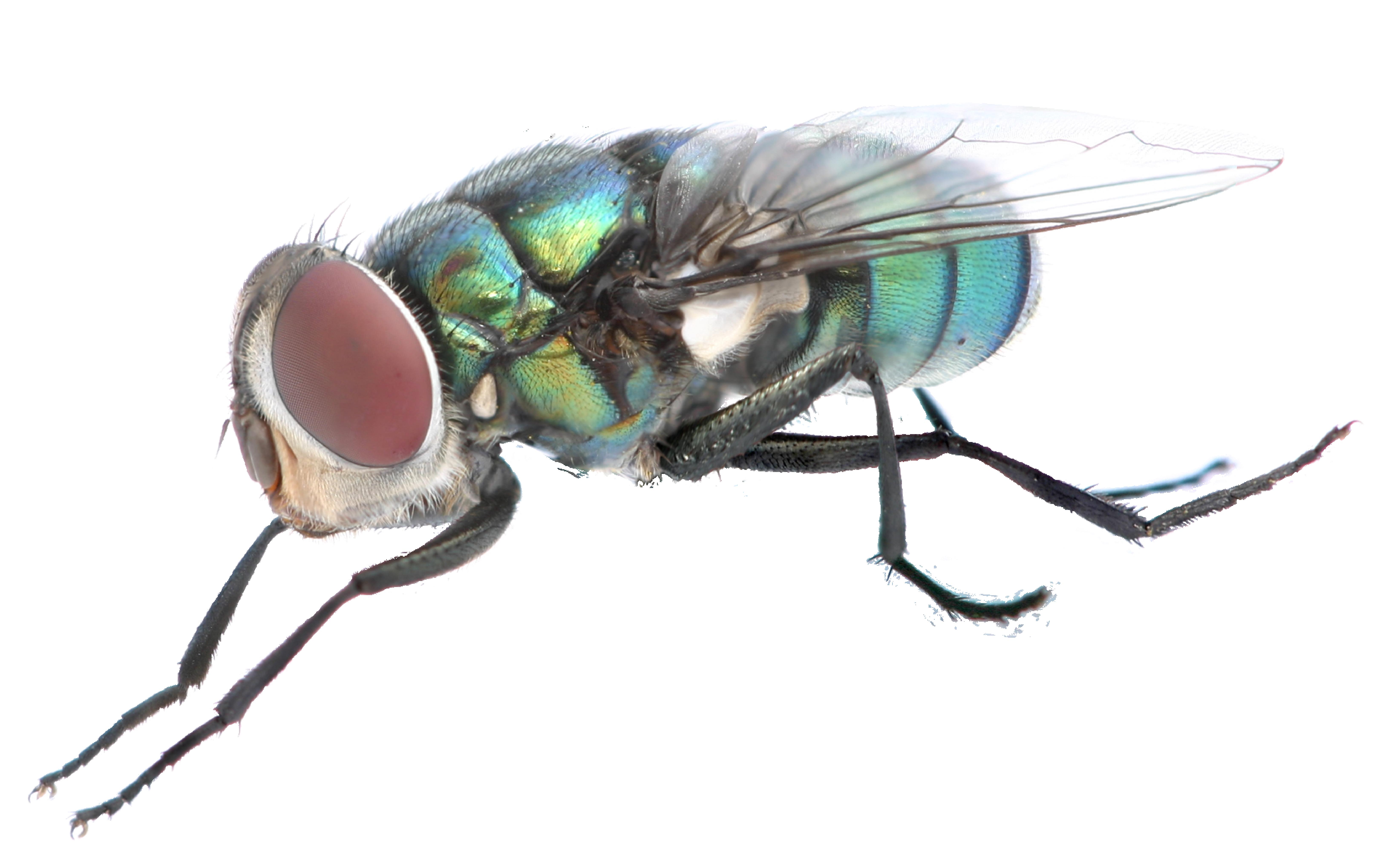 animales mosca
