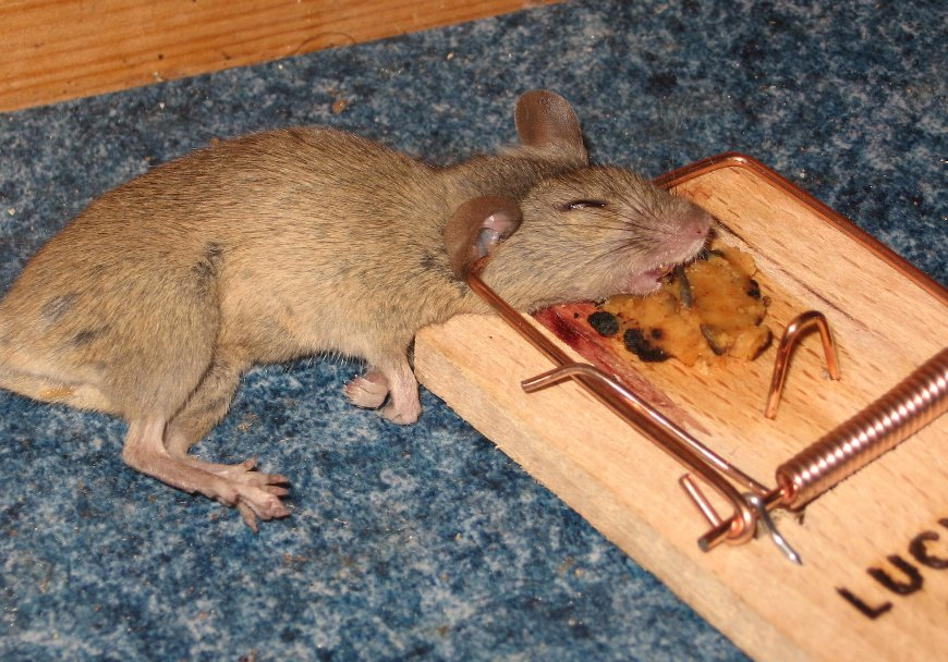 File Mousetrap With Mouse Jpg Wikimedia Commons