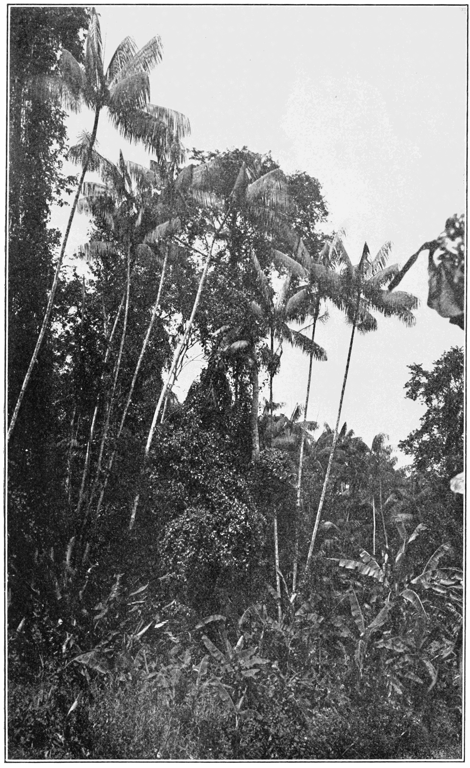 PSM V82 D026 Forest adjoining the botanical garden at paramaribo.png