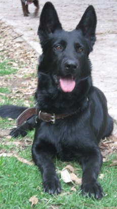 Picture Of All Black Dogs