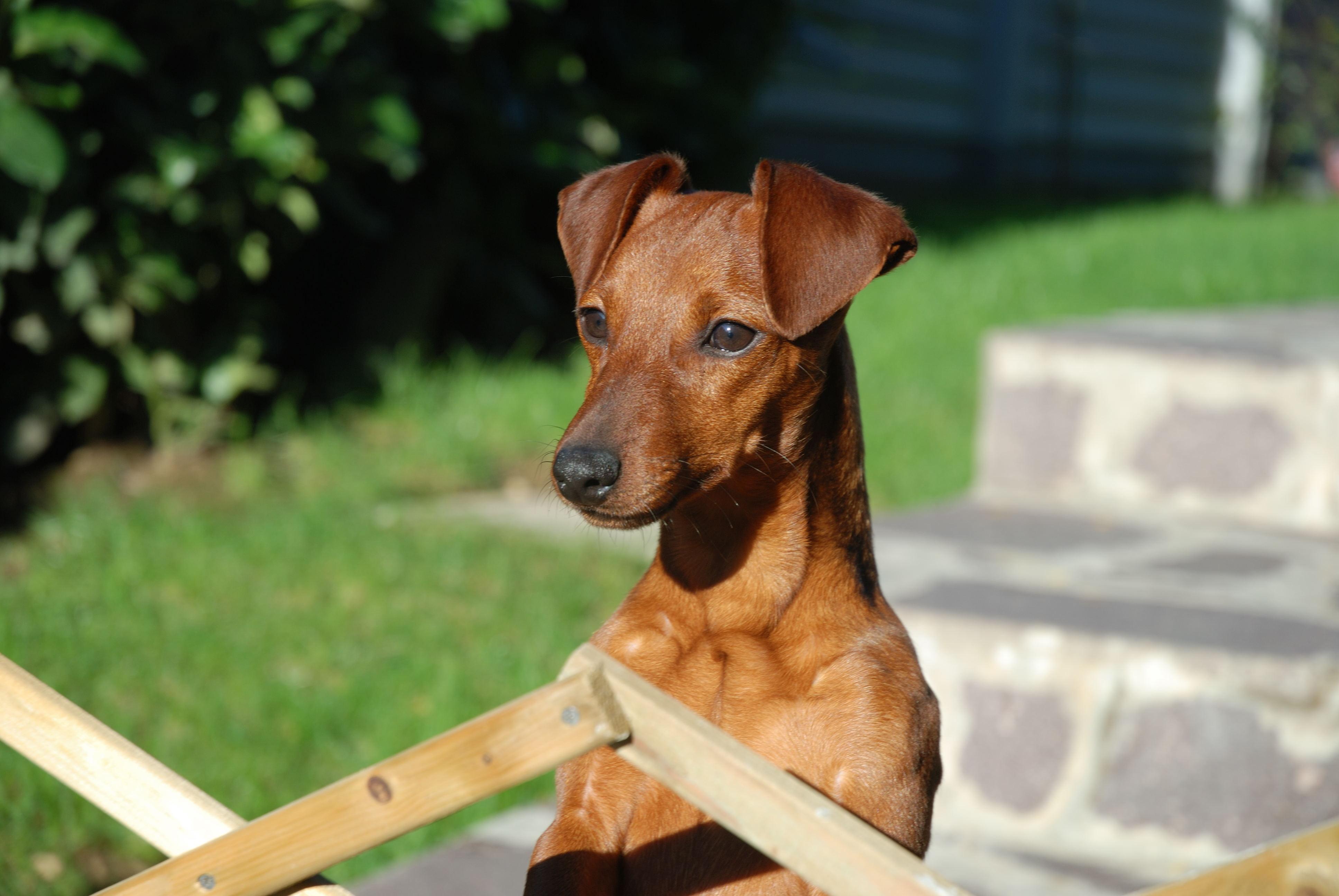 File pinscher wikimedia commons for Pincher cucciolo