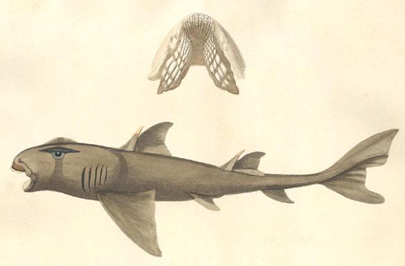 Requin Dormeur Taureau Wiktionnaire