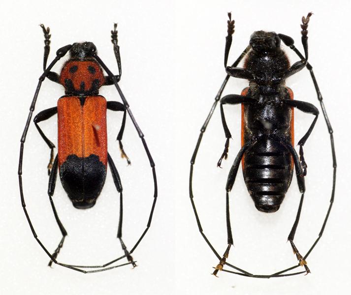 Purpuricenus desfontainei inhumeralis (14081246958).jpg Pic,1891 Sex: Male Data: 26-05-12 - Neo Ithilo - Greece Size: ? Date 12 April 2014,