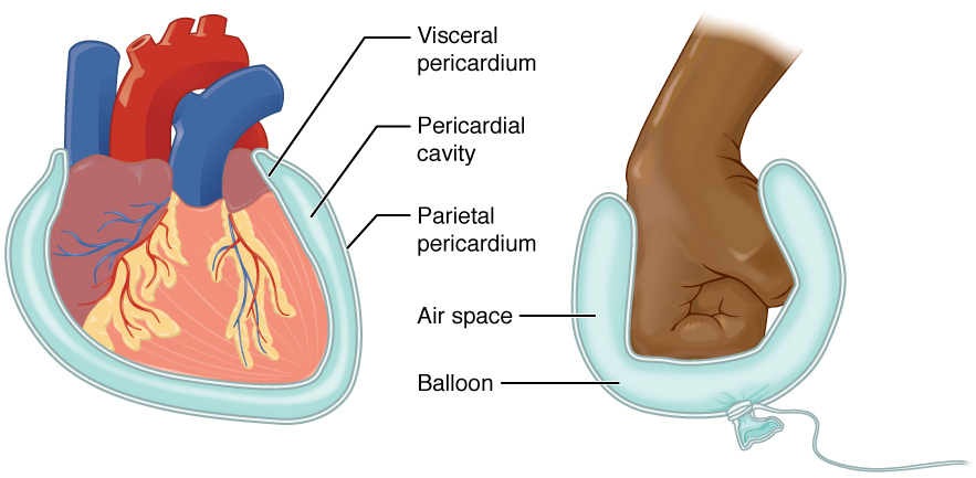 File Serous Membrane on visceral cavity