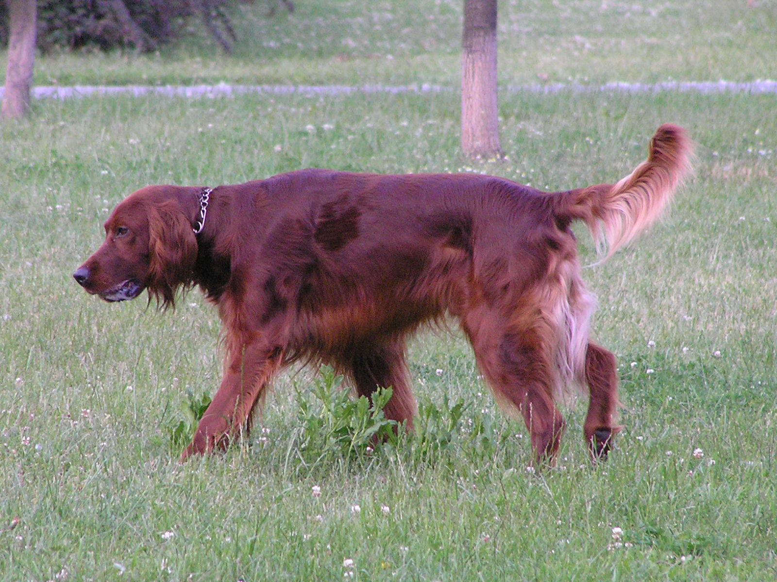 Jaką Rase Ma Pies Który Jest Duży I Ma Długą Rudą Sierść