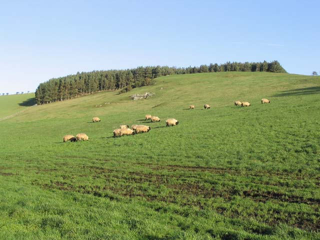 File:Sheep below Barley Hill - geograph.org.uk - 301569.jpg