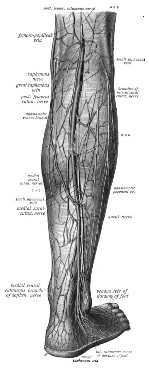 Triceps surae muscle - Wikiwand