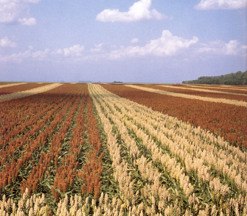 A farm with traditional and hybrid varieties of Sorghum