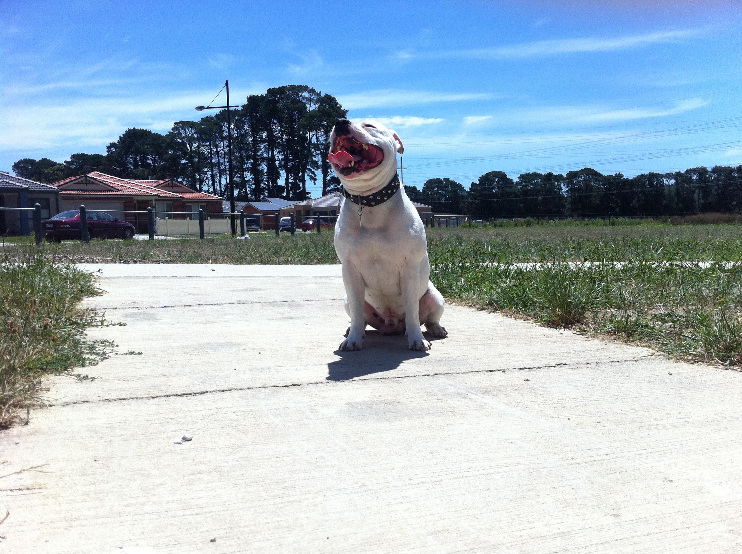 http://upload.wikimedia.org/wikipedia/commons/6/69/Staffordshire_Bull_Terrier.jpg