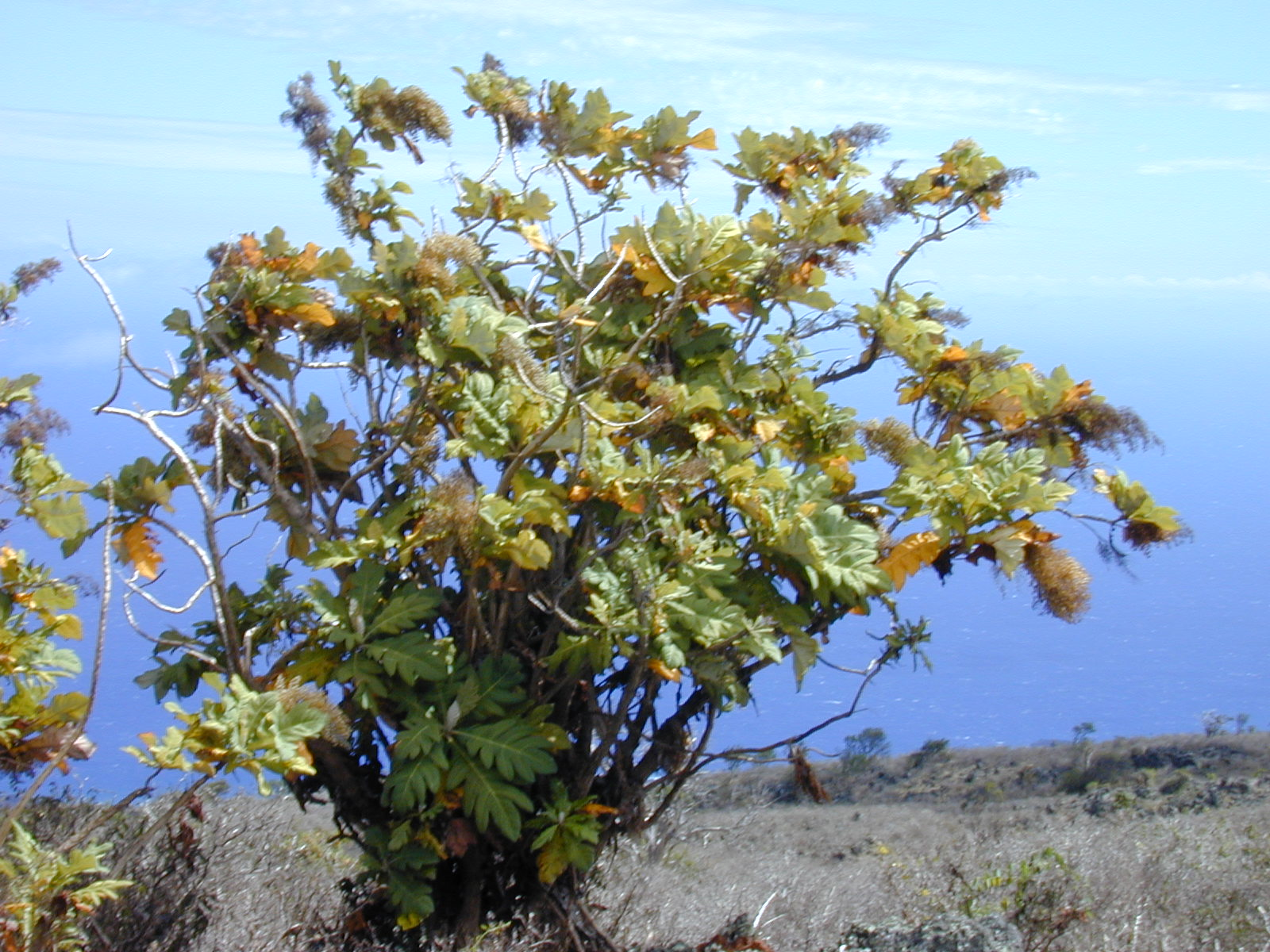 Starr 010714-0013 Bocconia frutescens.jpg © Forest & Kim Starr