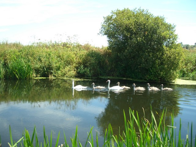Swans - cygnets on the River Stour near Wimborne Minster - geograph.org.uk - 203621