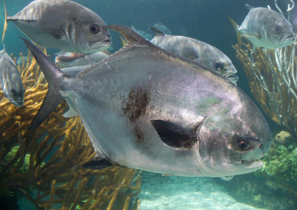 Https En Wikipedia Org Wiki Permit Fish