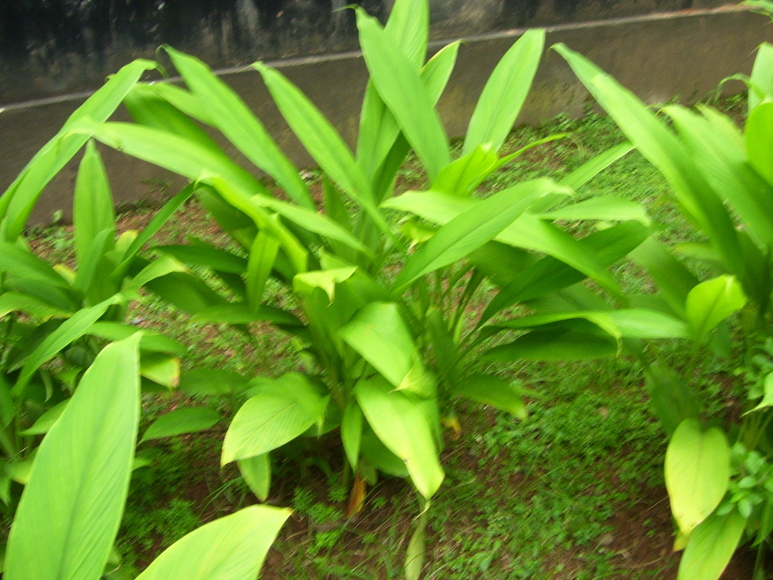 File:Turmeric Plant.jpg