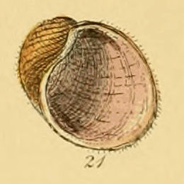 <i>Velutina velutina</i> Species of gastropod