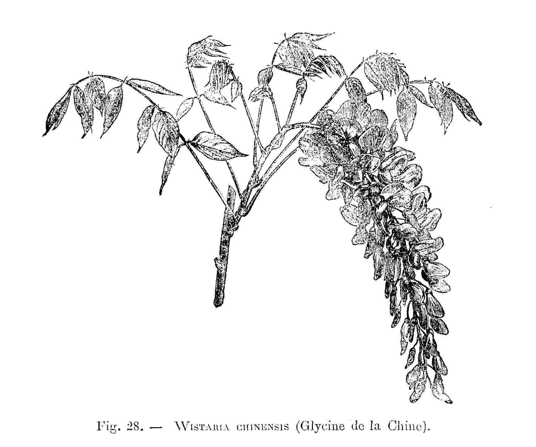 File wistaria chinensis dessin jpg wikimedia commons for Glicine disegno