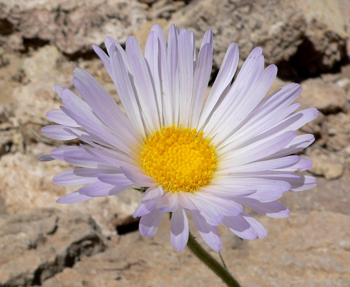 Xylorhiza Tortifolia Wikipedia