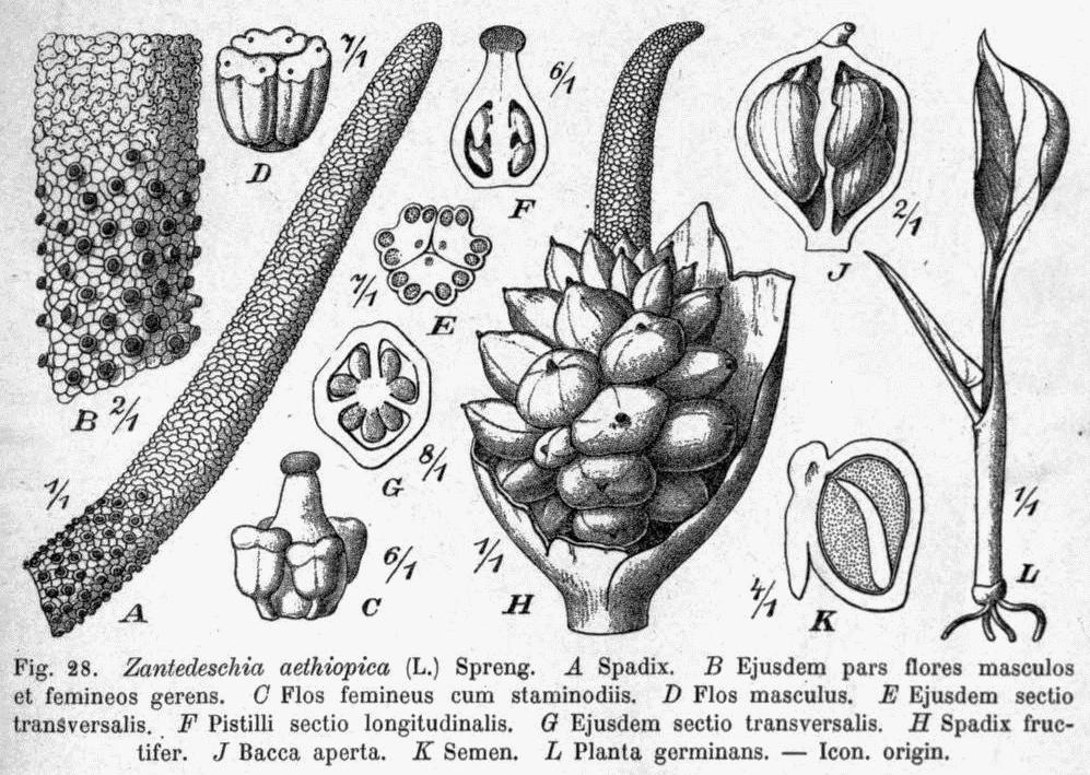 File:Zantedeschia aethiopica DPR.png - Wikimedia Commons