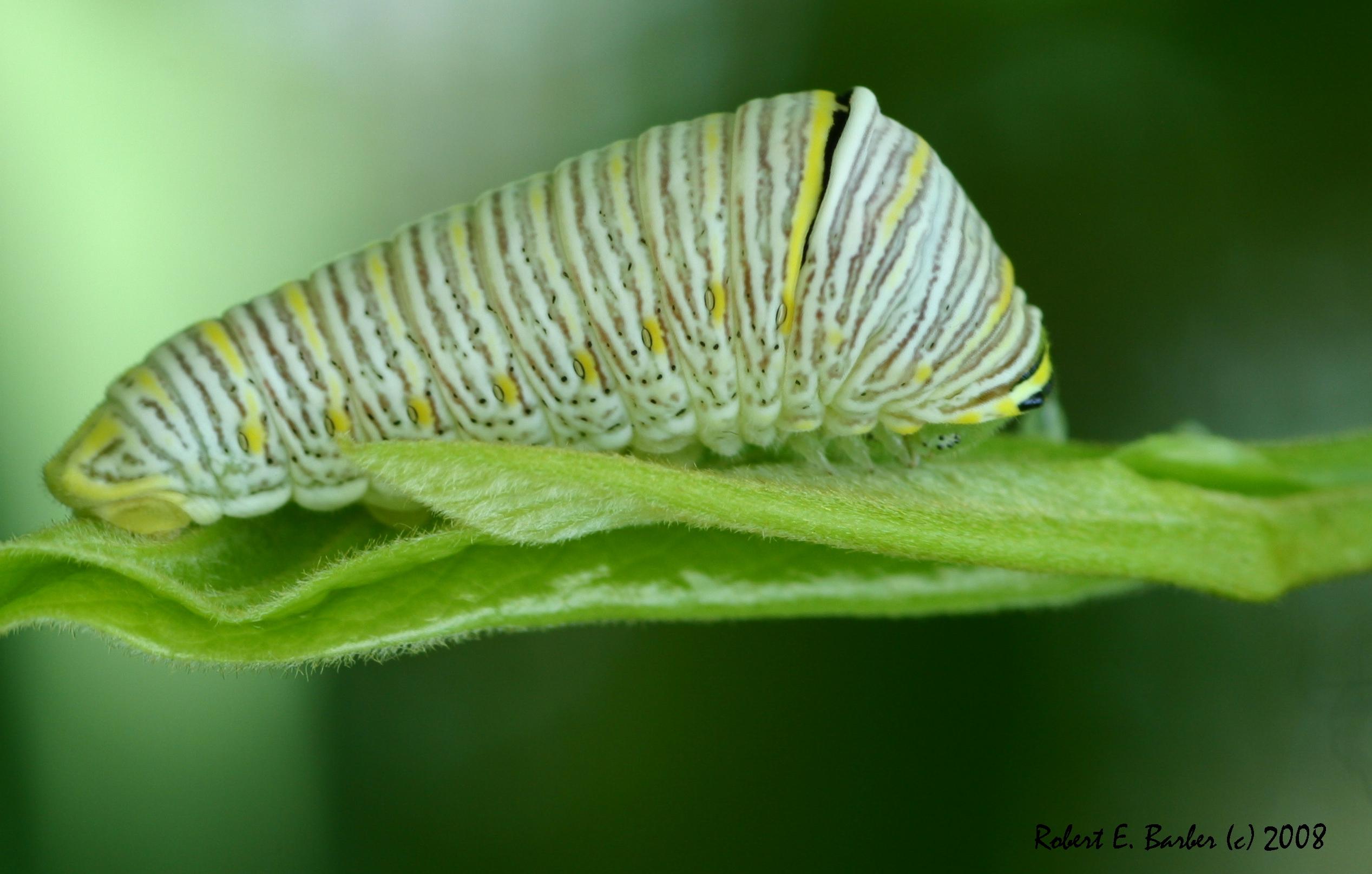 Description Zebra Swallowtail Caterpillar IMG 7664 jpgZebra Swallowtail Caterpillar