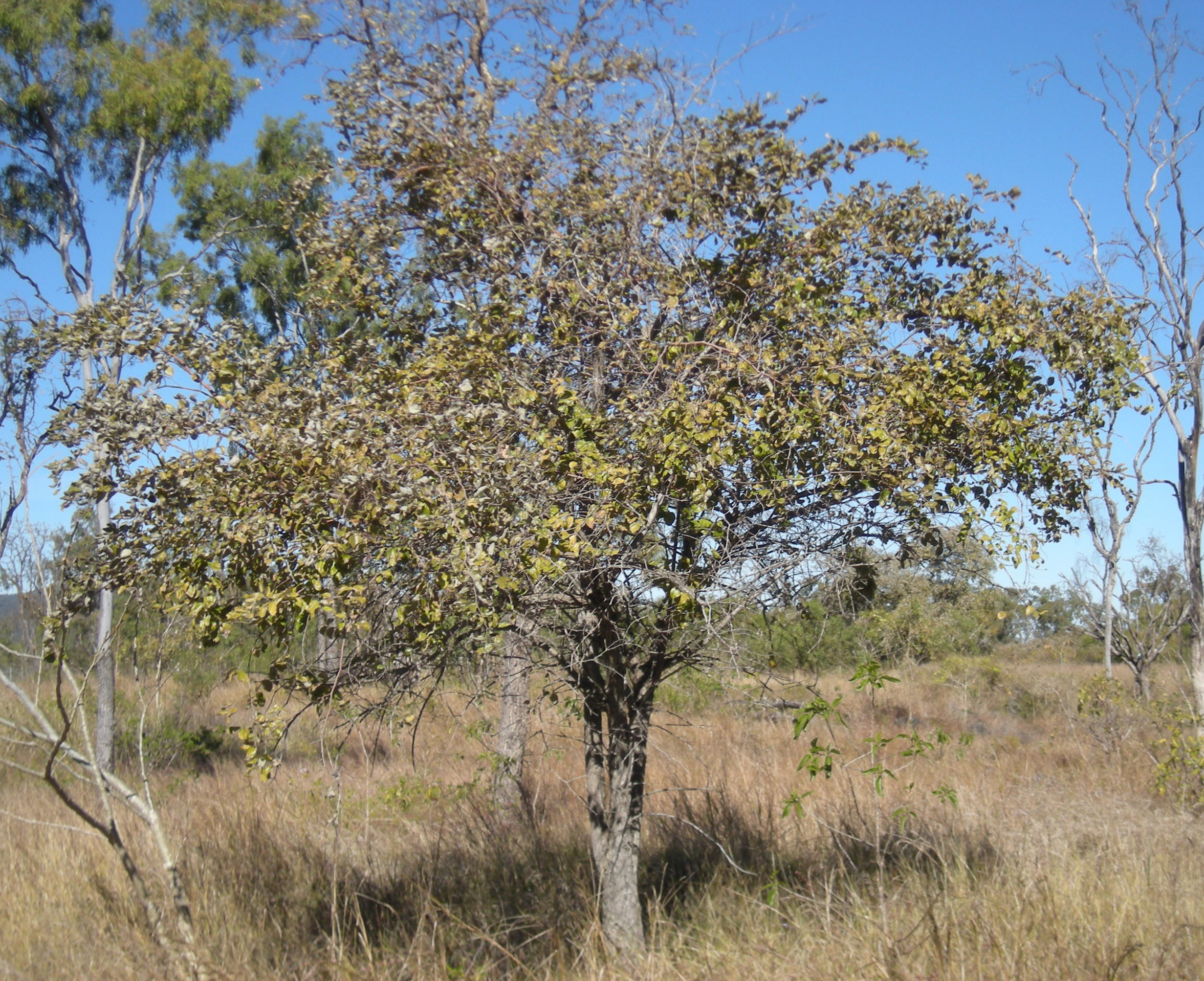 filezizyphus mauritiana treejpg wikimedia commons