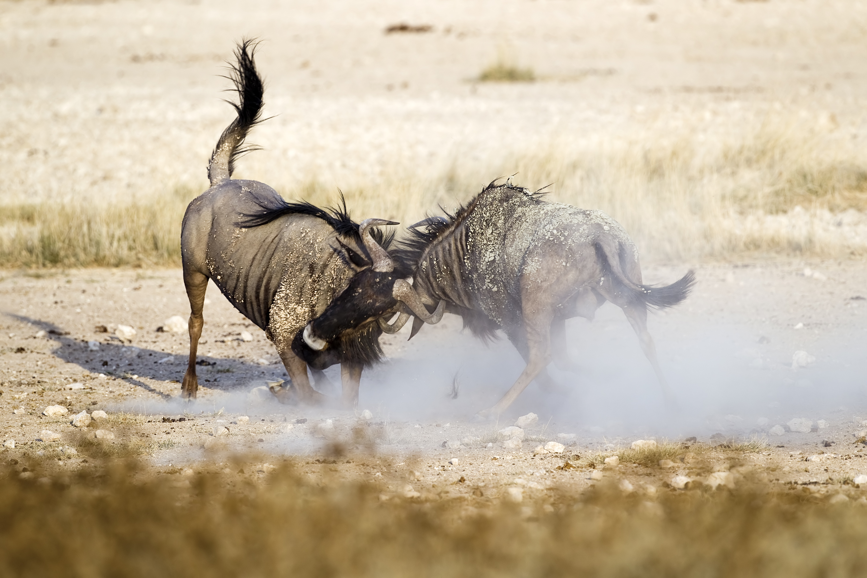 File:2012-wildebeest-fight.jpg - Wikimedia Commons