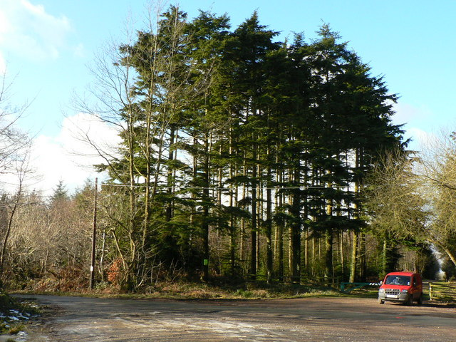 A stand of pines, Hensol Forest - geograph.org.uk - 1156851