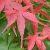Aceraceae.png