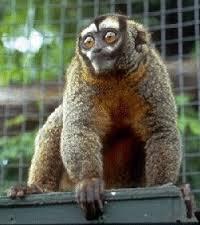 The average litter size of a Nancy Ma's night monkey is 1