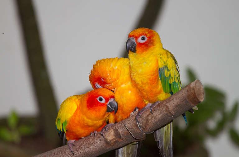File:Aratinga solstitialis -Kuala Lumpur Bird Park, Malaysia-8a.jpg